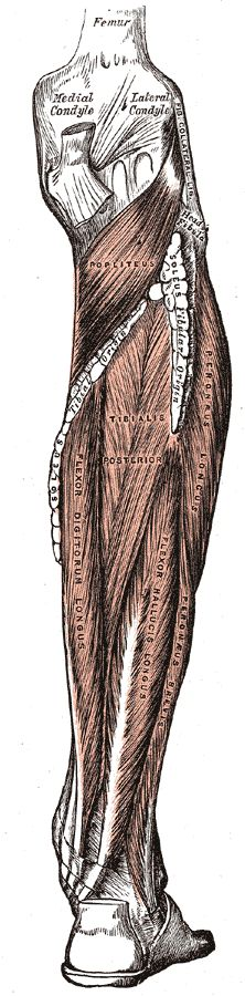 Fibularis Longus/Peroneus Longus Origin Upper lateral shaft of fibula[1]  Insertion first metatarsal, medial cuneiform[1]  Artery fibular (peroneal) artery  Nerve Superficial fibular (peroneal) nerve[1]  Actions plantarflexion, eversion, supportarches[1]  Antagonist Tibialis anterior muscle