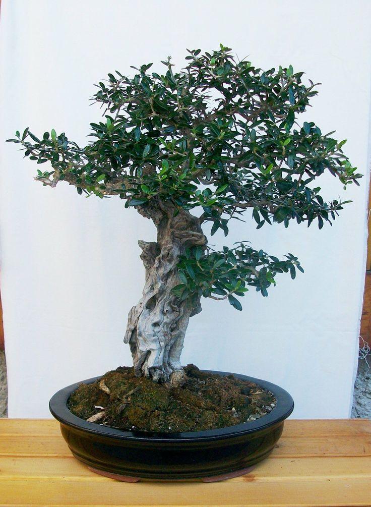 onsai di olivo