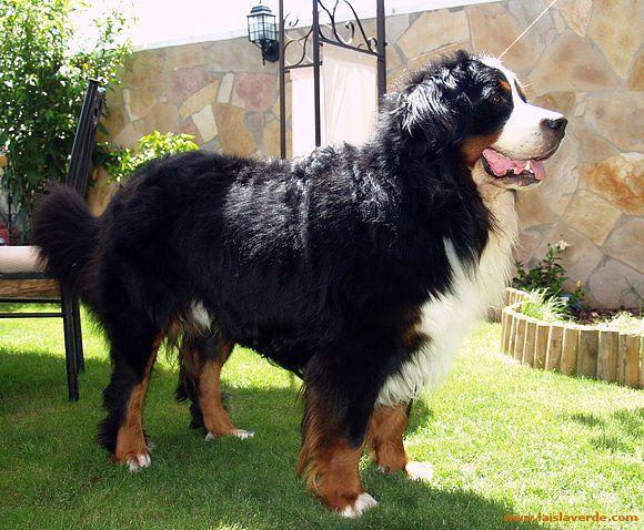 [O-T] Razas de Perros Grandes xD cual es tu favorito?