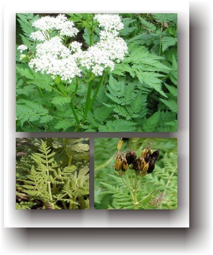 ierburi pe bază de plante varicoză)