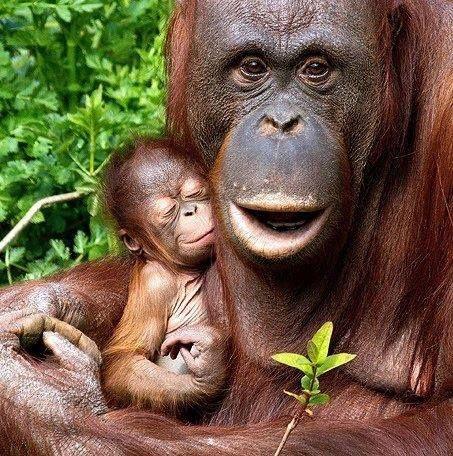 """Die Bezeichnung """"Orang-Utan"""" stammt von den malaiischen Wörtern """"orang"""" (Mensch) und """"utan"""" oder """"hutan"""" (Wald) und bedeutet demzufolge """"Waldmensch"""". In europäischen Sprachen erschien dieser Name erstmals 1631."""
