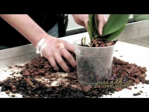 A Just Add Ice Orchids expert walks through the steps of re-potting a phalaenopsis orchids, the type of pot and soil that should be used and where to cut the...