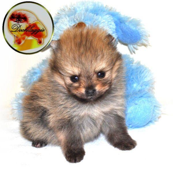 Dochlaggie Pomeranian Puppy Pomeranian Puppy Pomeranian Fur Babies