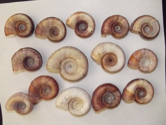 7 Natural Spiral Snail Shell /Wedding decor / by DaisyAndMomSupply, $4.99