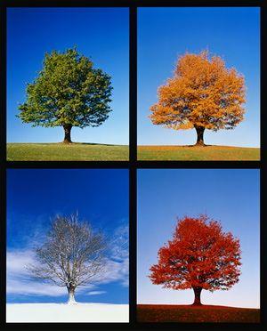 El arce se vuelve arte en el otoño: Las 4 estaciones del arce
