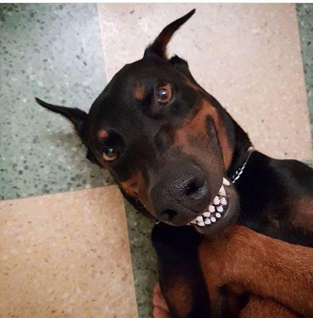 Smiling Pooch Doberman Pinscher Funny Doberman Puppy Doberman