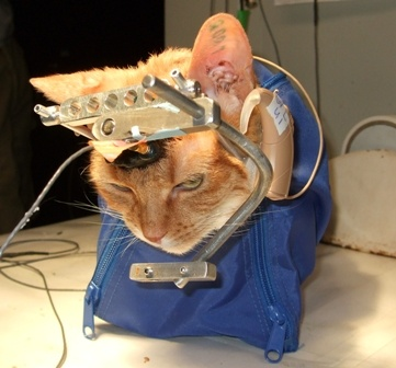 Ask NIH to Stop Funding Cruel UW Experiment on Cats!: Animals, Cat, Animal Rights, Animal Cruelty, Animal Testing, Animal Abuse, Experiment, Animalabuse