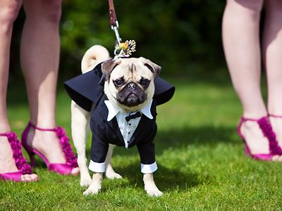 Is there anything cuter than a pug in a tux? We think no. Image by Janae Shields Photography, San Francisco.