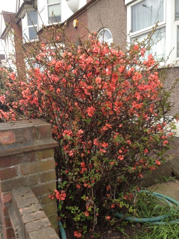 Flowering Quince (chaenomeles): This is likely a flowering quince. It produces bright flowers, usually salmon like this one, but also red, pink, orange or white late in winter or early spring. Occasionally produces fruit as well, which resembles a small edible quince but lacks flavor. Needs full sun and regular water as a plant. Popular in cut flower arrangements too. Very lovely!