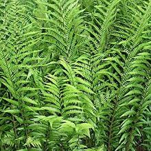Dryopteris x australis (Dixie Wood Fern) - 4'x2'; growth habit is dramatically upright with large, coarse, dark green, semi-evergreen fronds.This is a very structural, deer-resistant fern for the moist woodland garden, eventually making a clump 4'+ tall x 2' wide. Although Dryopteris x australis is very tolerant of dry sites, a nice damp piece of ground will produce really spectacular results. Propagation is limited to division of the clump. (Plant Delights)