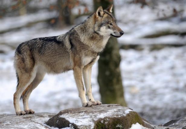 Plusieurs associations de défense de l'environnement ont réagi jeudi au projet de plan arrêté par le «Groupe national loup», certaines en «prenant acte, sans l'approuver», d'autres dénonçant carrément «un plan de chasse contre une espèce protégée». Lire la suite....