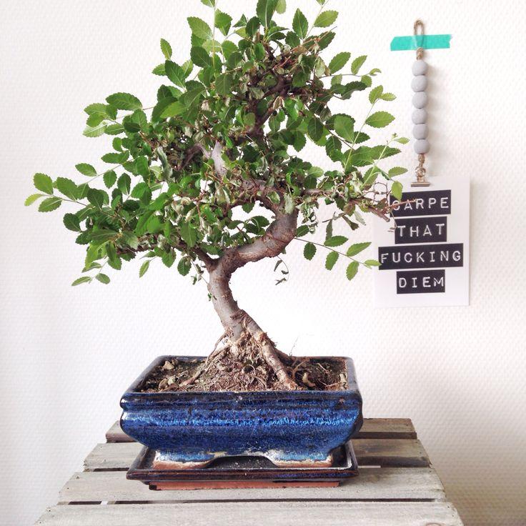 Hello bonsai.