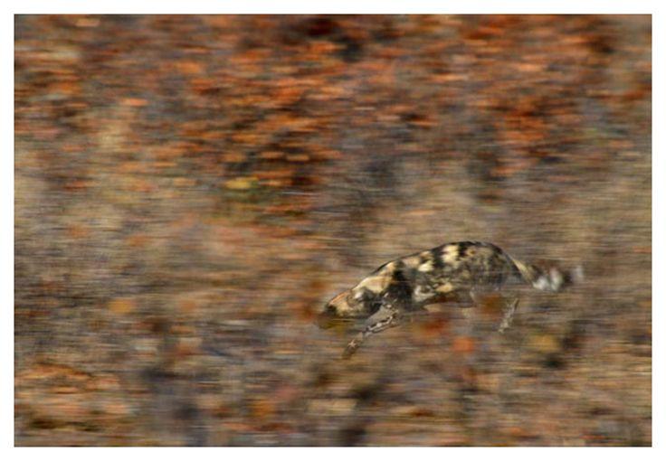 wild dog play stalking through mopane woodland
