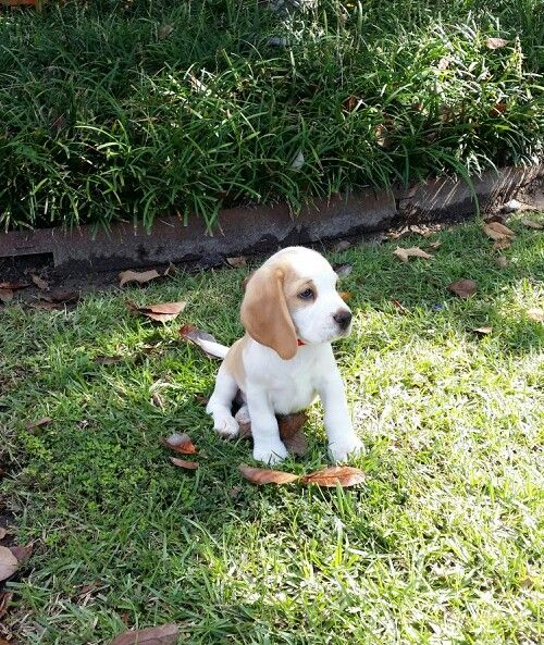 Beagle Puppy 8 Weeks Old