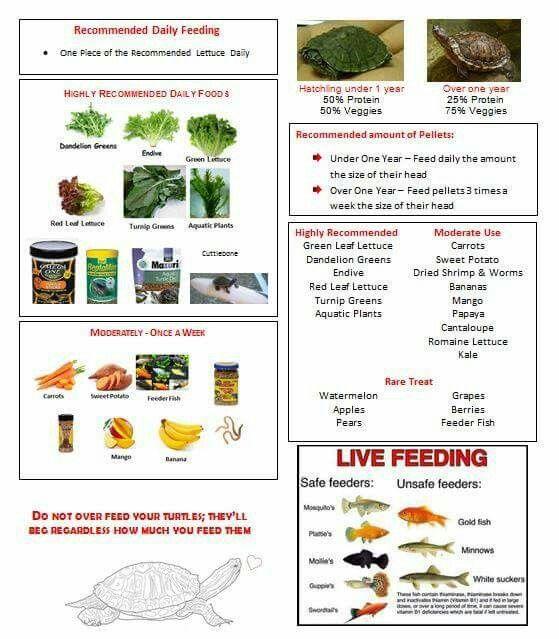 Red Ear Slider turtle Food eating Poster