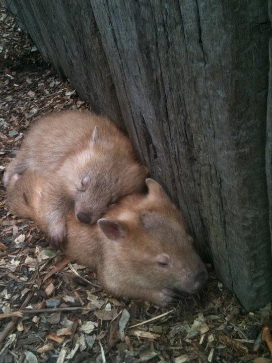 Wombat love.