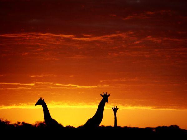 giraffes...giraffes