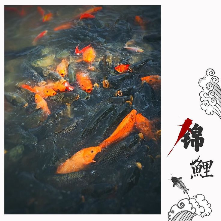 #fish #carp #cyprinoid #orange #iphoneography #iphonegraphy #water #river #fishes #fishs