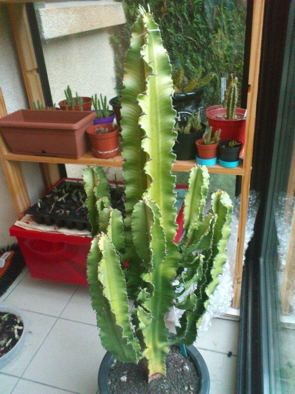 les 25 meilleures id es de la cat gorie euphorbe cactus sur pinterest euphorbe plante. Black Bedroom Furniture Sets. Home Design Ideas