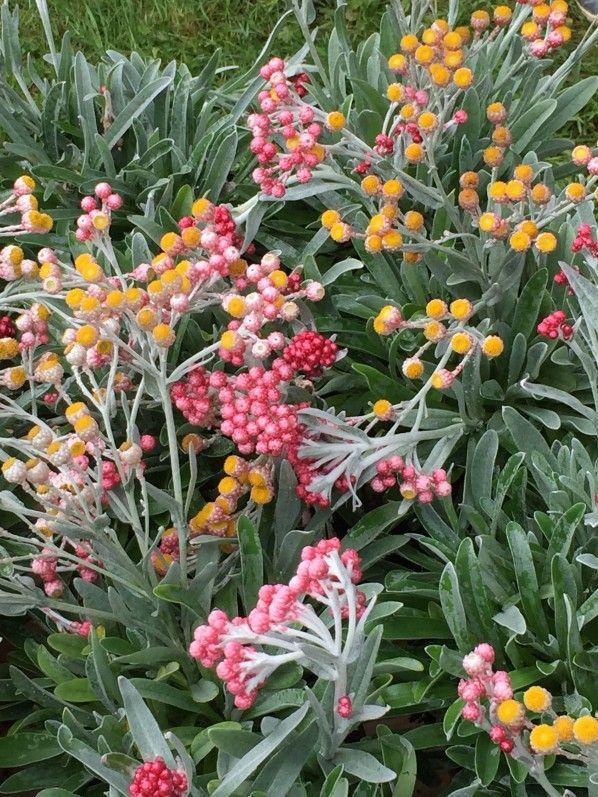 Immortelle Helichrysum Ruby Cluster Petite Fleur Bouquet De