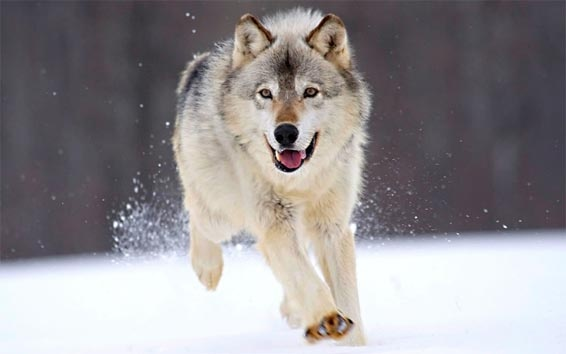 Loup courant dans la neige