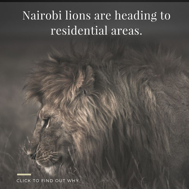 With no clear solution in sight... #lion #kenya #nairobi #africa #wildlife #conservation