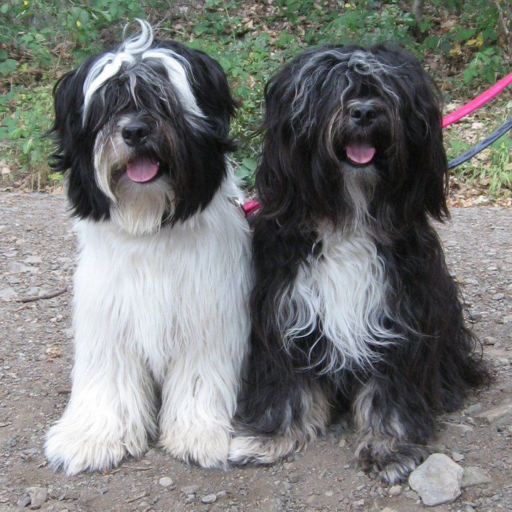 tibetan Terrier photo | jampa and uschi sumanshu tibetan terriers tibetan terrier