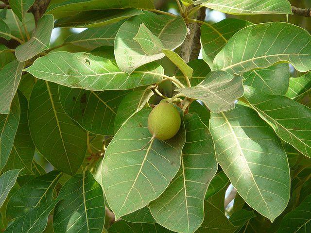 Madhuca longifolia honey tree is sacred to the vedic for Diferencia entre arboles de hoja caduca y hoja perenne