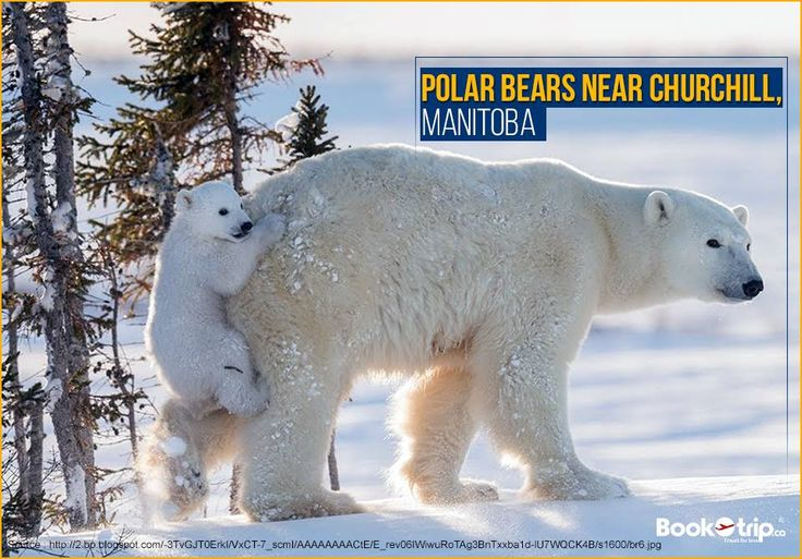 #Churchill is one of the few human settlements where #polarbears can be observed in the wild.  Call to book a flight ticket to Churchill : (888) 379-1003 BookOtrip.ca #travelforless
