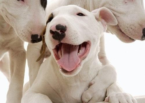4 Pack Puppy Dog English Bull Terrier Dogs Puppies Greeting Notecards// Envelopes