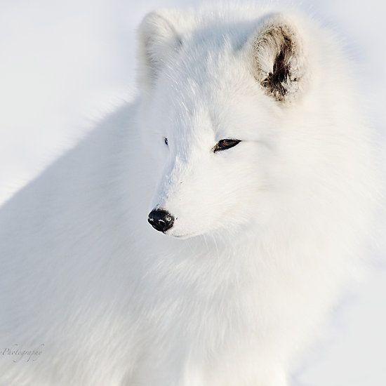 Foxy - Arctic Fox