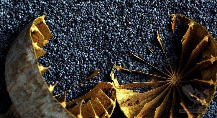 A mák, mint gyógynövény és a hosszú élet titka - Egészségtér - Természetes egészség