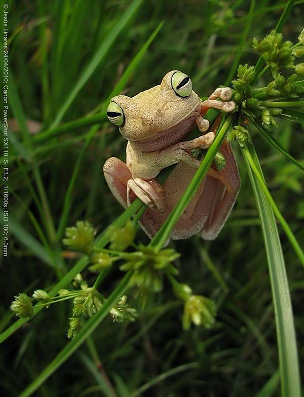 Emerald-eyed Treefrog -Hypsiboas crepitans