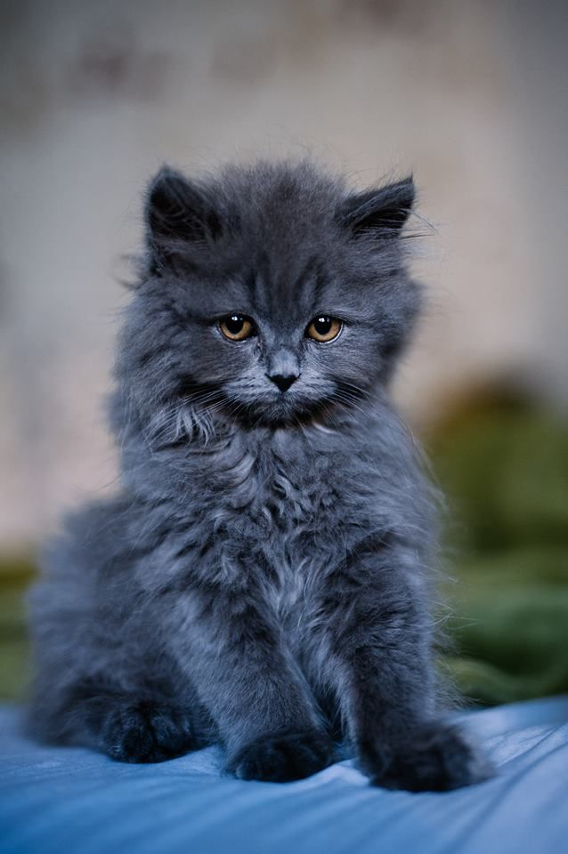 "awwww-cute: ""My name is Cooper, I'm a British Longhair Blue kitten (Source: http://ift.tt/2h1Yr2U) """