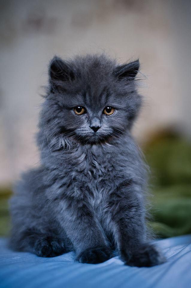 "awwww-cute: ""My name is Cooper, I'm a British Longhair Blue kitten (Source: http://ift.tt/2h1Yr2U) """