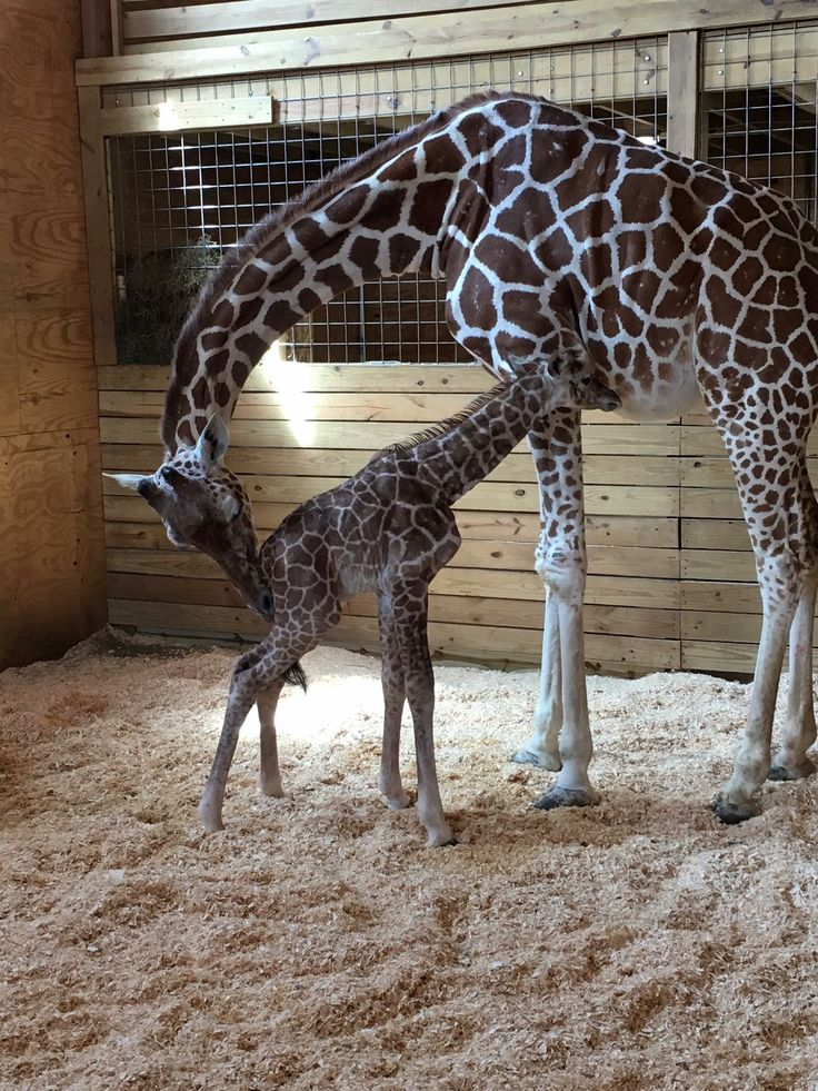 April the Giraffe and her new baby!