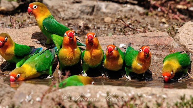 """'Group refreshment' - Tanzania -  """"Fischer's Lovebird / Pfirsichköpfchen"""" -  Species / Spezies: Agapornis fischeri"""