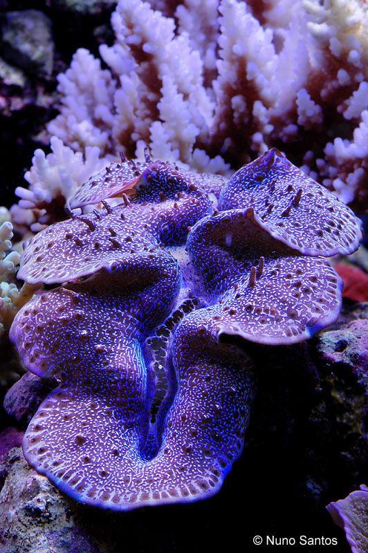 Bénitier géant. Tridacna maxima est une espèce de bénitiers géants de la famille des Tridacnidae. Appréciée des aquariophiles, on la rencontre souvent en aquarium marin. En Polynésie française, cette espèce est nommée « pahua » et entre dans la cuisine locale.