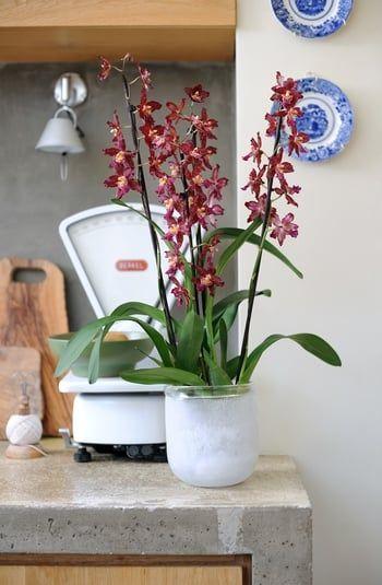 L'orchidée Cambria-comme