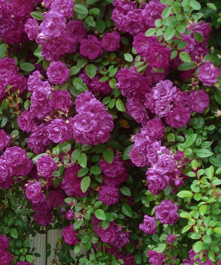 Violet Cascade Mini Rose Plant