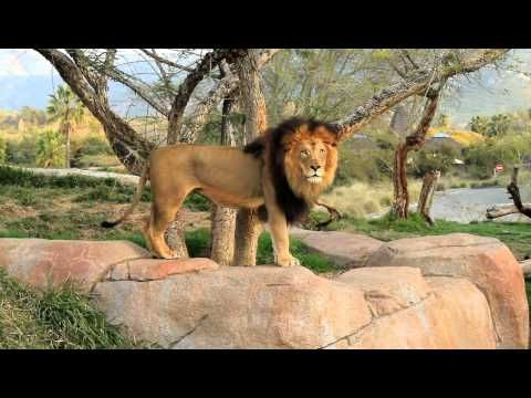 Lions Roaring at the San Diego Wild Animal Park - YouTube