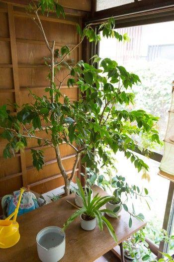 縁側では、ジャポチカバ、コタニワタリ、ガジュマルなど室内で育つ植物を栽培。