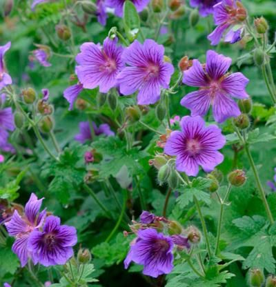 Cranesbill Geraniums--Attracts bees and butterflies. Grows in Zones 4-10