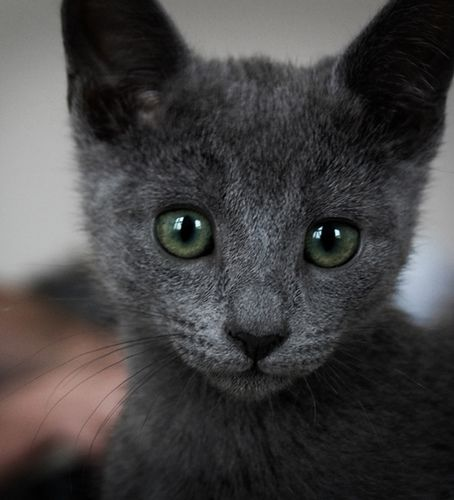 russian blue... hypoallergenic, so beej can breathe ;)