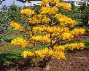 Pinus virginiana `Wate's Golden' A winter color variety of Scrub Pine. Leaves are a bright green in summer. In winter leaves turn school bus yellow. Plant likes to look wind swept. Very nice pine to s