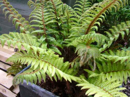 Polystichum polyblepharum AGM. Evergreen fern.