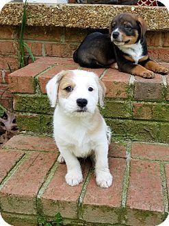 Glastonbury, CT - Schnauzer (Standard)/Australian Shepherd Mix. Meet Bobby Bones~adopted!, a puppy for adoption. http://www.adoptapet.com/pet/18043034-glastonbury-connecticut-schnauzer-standard-mix