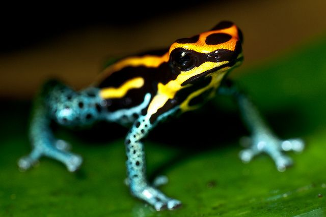 Poisonous-Tree-Frog-1.jpg (640×427)