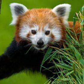 Red  panda, Red  panda