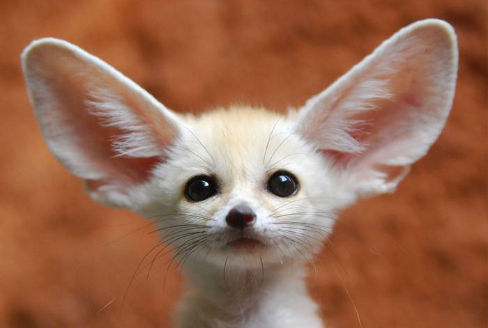 #baby_pangolin #baby_fennec_fox #baby #animal #wild #baby_quoll #pangolin #fennec #fox #quoll #nature #noipic